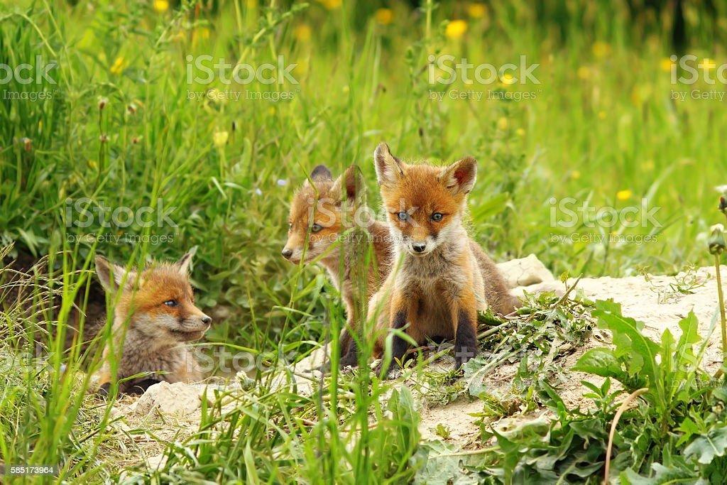 fox cubs near the den stock photo