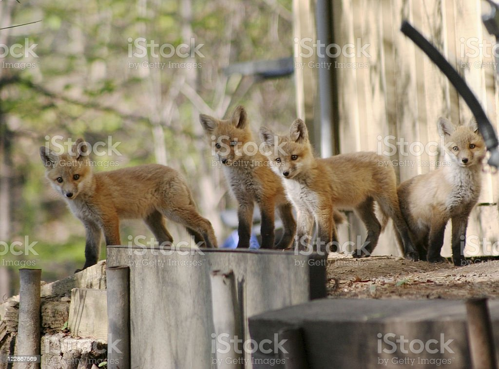 Fox Cubs royalty-free stock photo