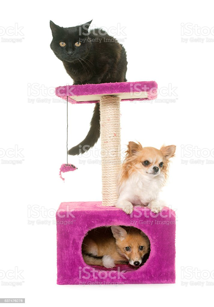 fox, dog and cat on scratching post stock photo