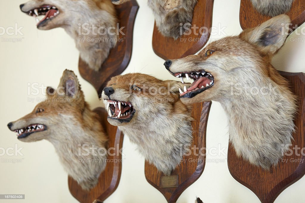 Fox heads mounted on a wall royalty-free stock photo