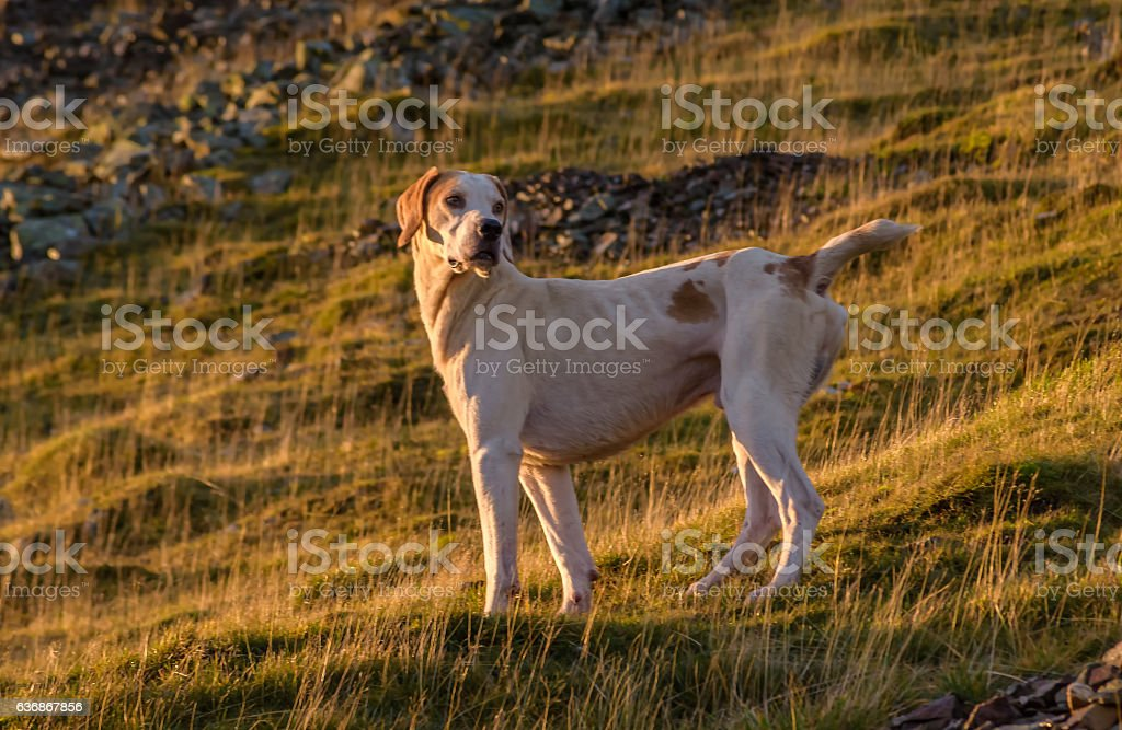 Fox Hound on Mellbreak stock photo