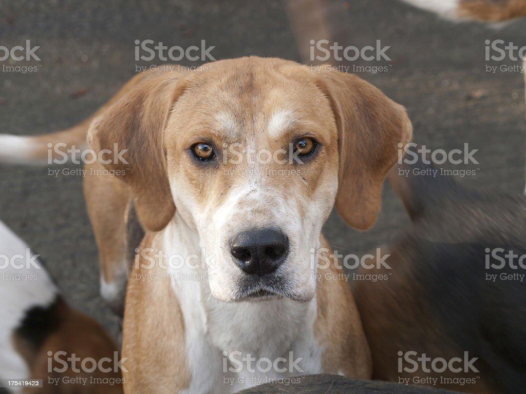 Fox Hound stock photo