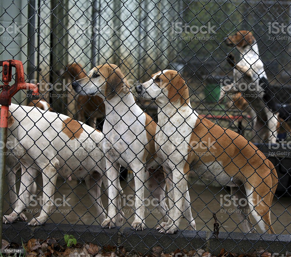 Fox Hounds in Dog Run Cage Watching stock photo