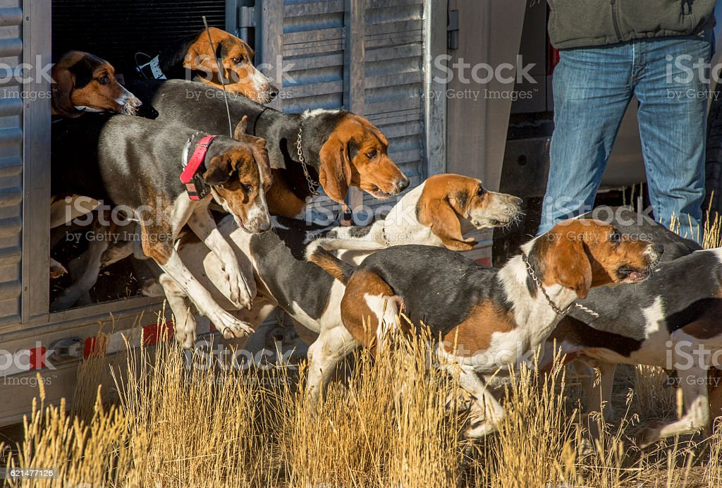 Fox Hounds Leaving the Trailer stock photo