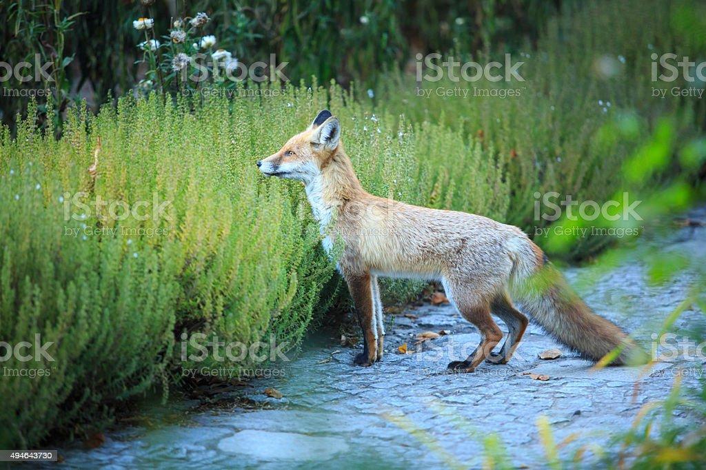 fox in a garden stock photo