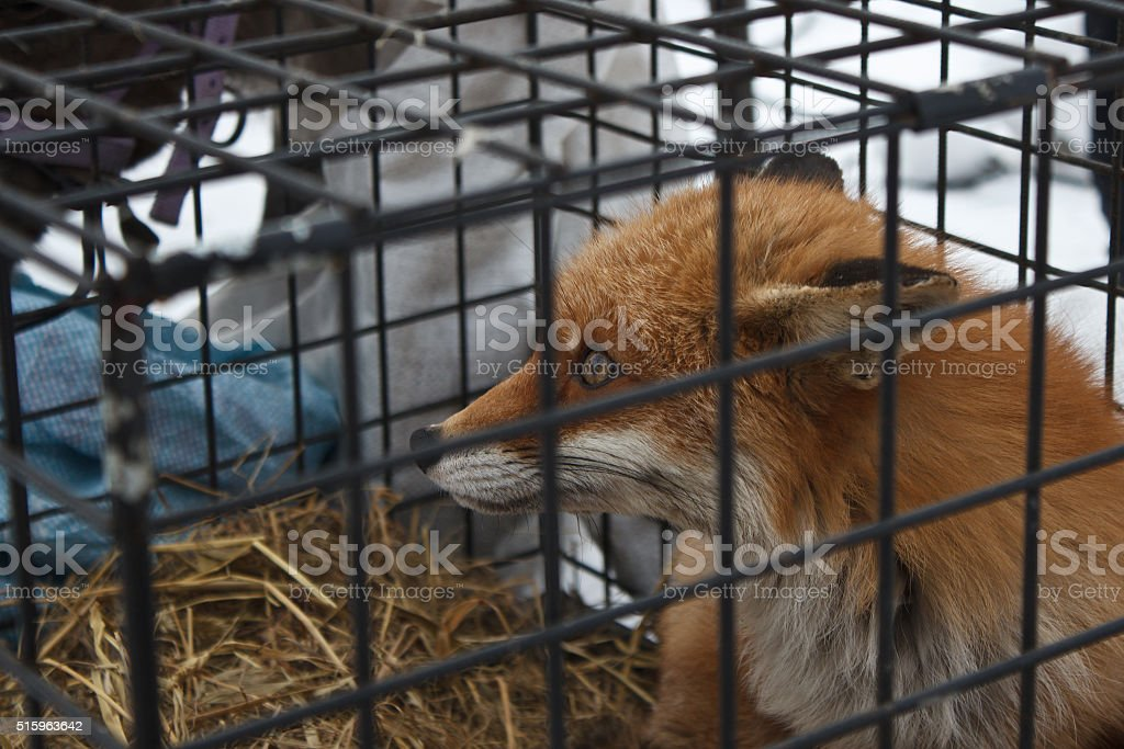 fox in the cage stock photo