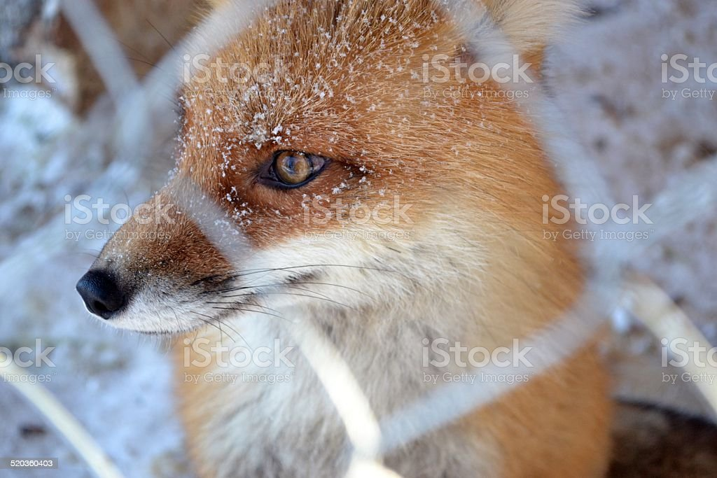 Fox in the cage, winter stock photo