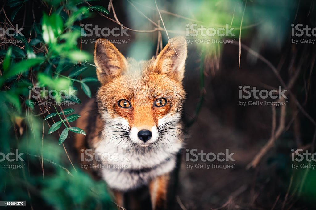 Fox In The Meadow stock photo
