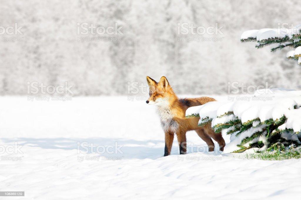 Fox in winter stock photo