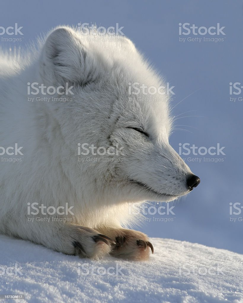 Fox is couched in slumber. stock photo