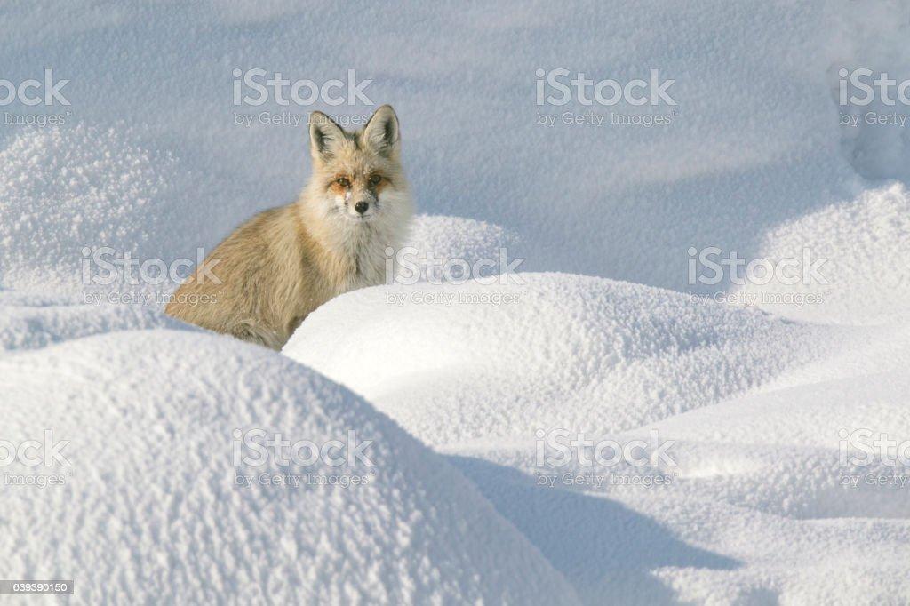 Fox Look stock photo