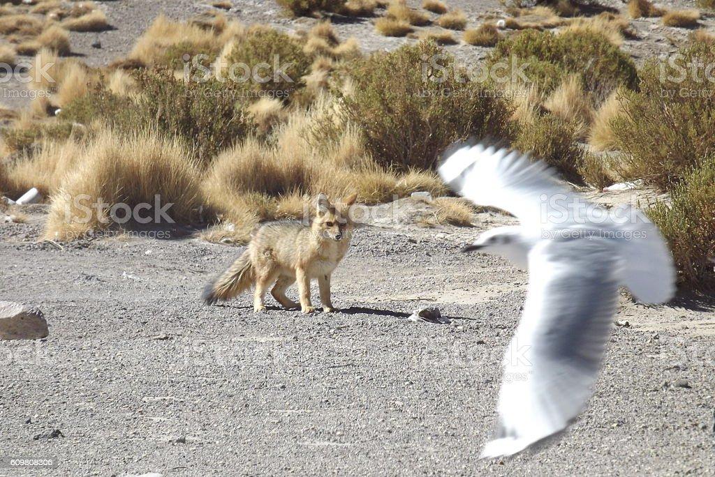 Fox looking seagull. stock photo