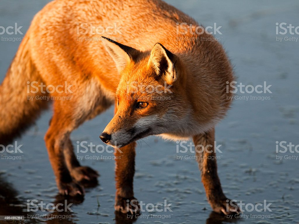 Fox on Icy Lake stock photo