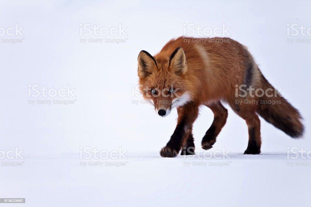 Fox on snow stock photo