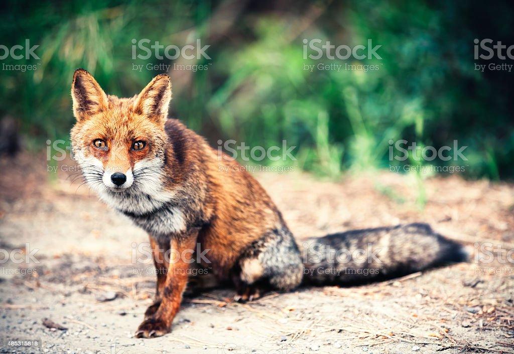 Fox On The Road stock photo
