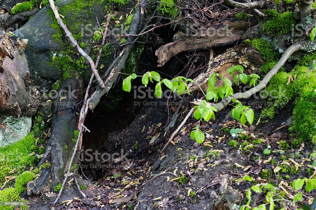 A big hole under an old tree trunk covered with green moss and...
