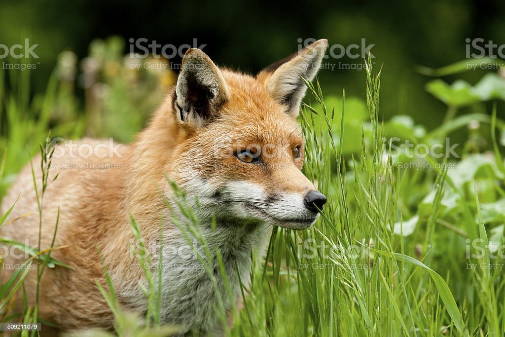 Fox stock photo