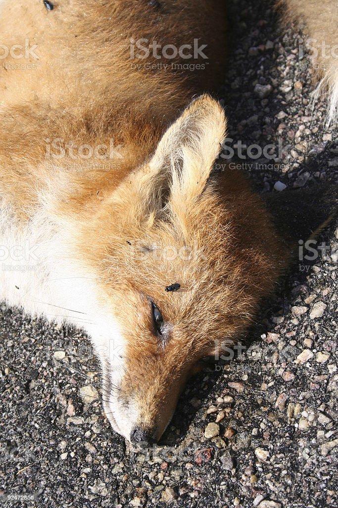 Fox royalty-free stock photo