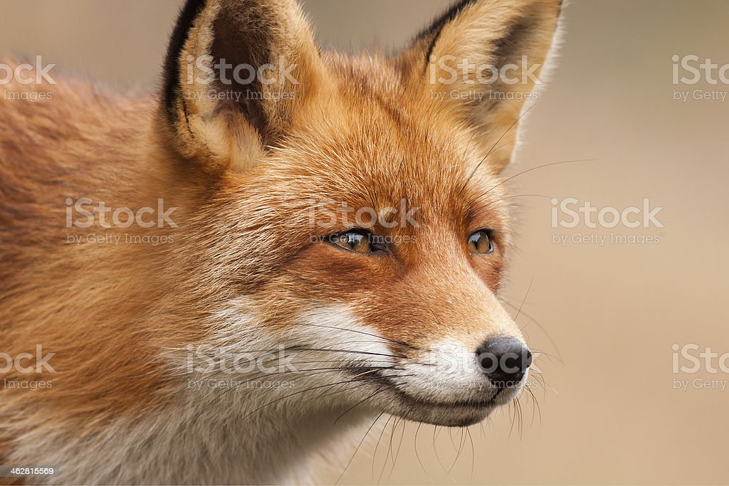 Fox Porträt Lizenzfreies stock-foto