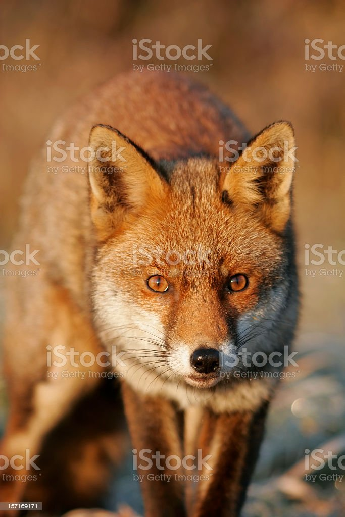Fox portrait with shades of red royalty-free stock photo