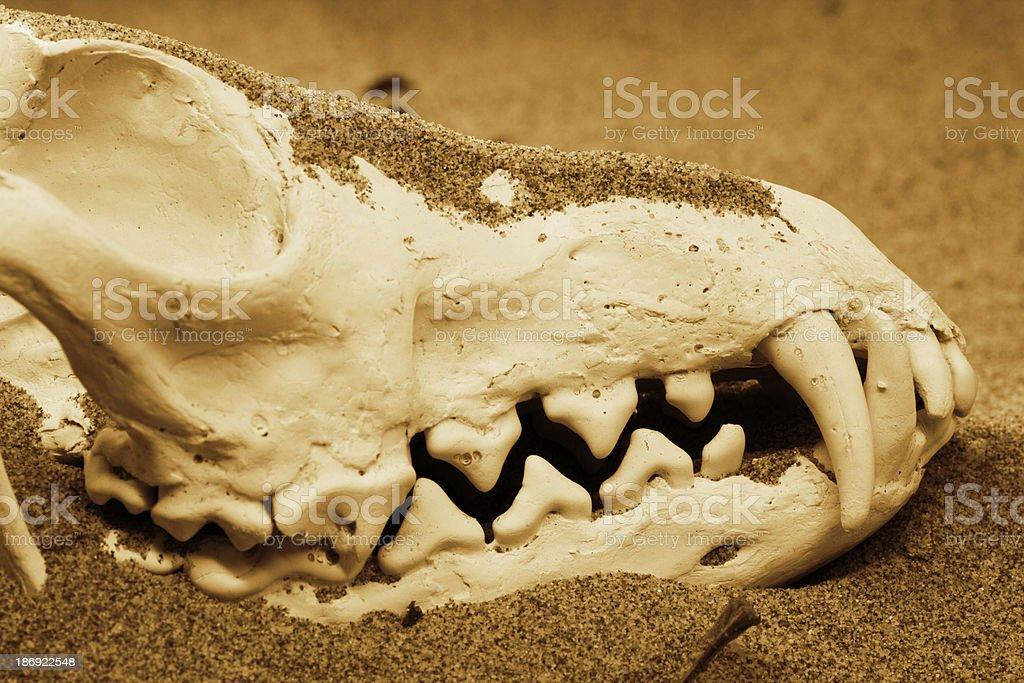 Fox skull royalty-free stock photo