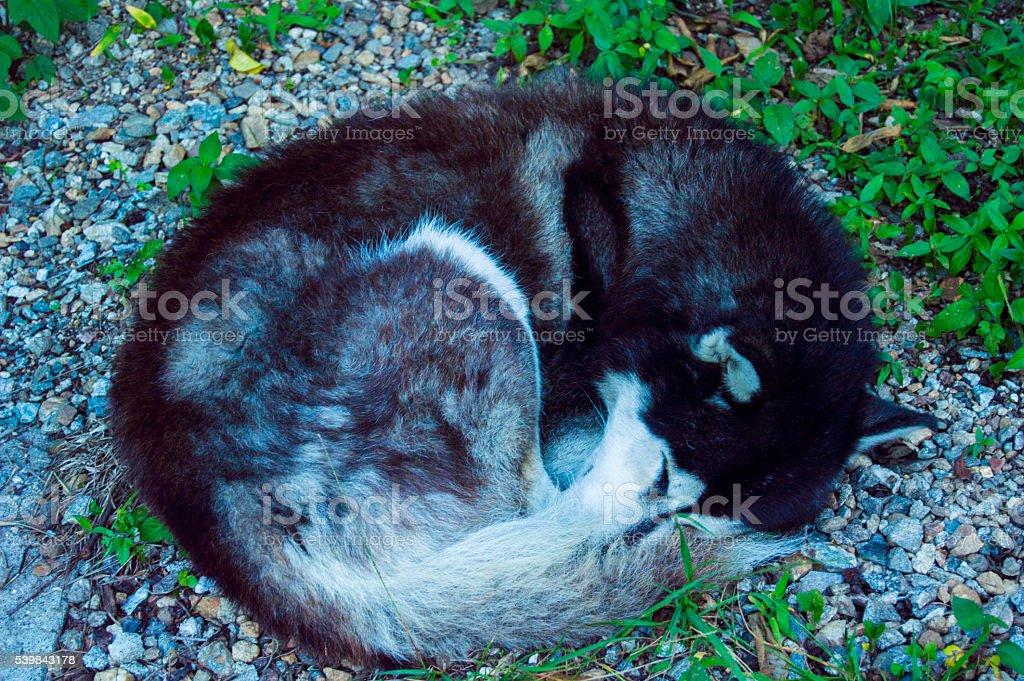 fox sleeping from high angle ( Husky ) stock photo