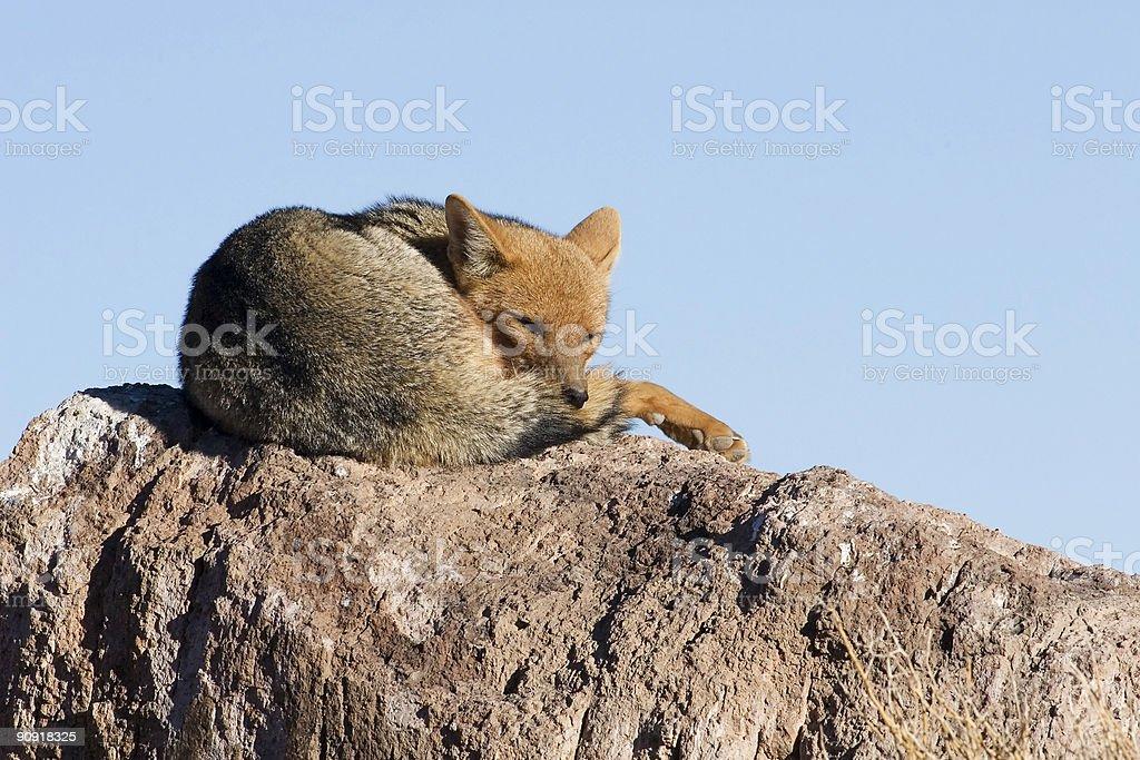 Fox Sleeping stock photo