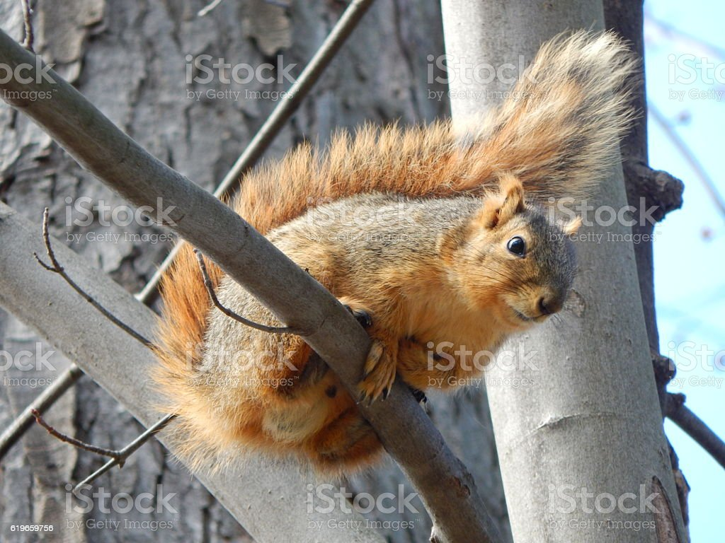Fox Squirrel on Tree stock photo