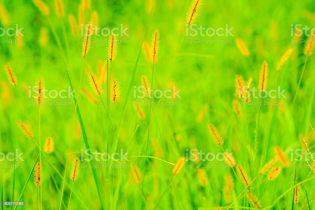 Fox tail  in a blurred background stock photo