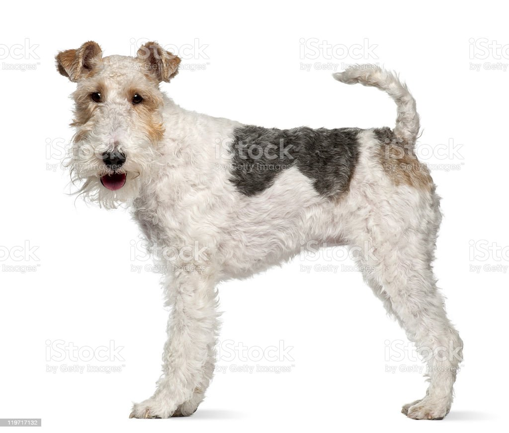 Fox terrier, 1 year old, standing, white background stock photo