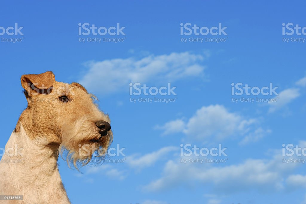 Fox terrier against the sky royalty-free stock photo