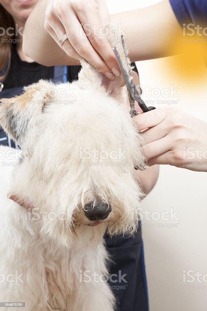 Fox terrier getting his hair cut royalty-free stock photo