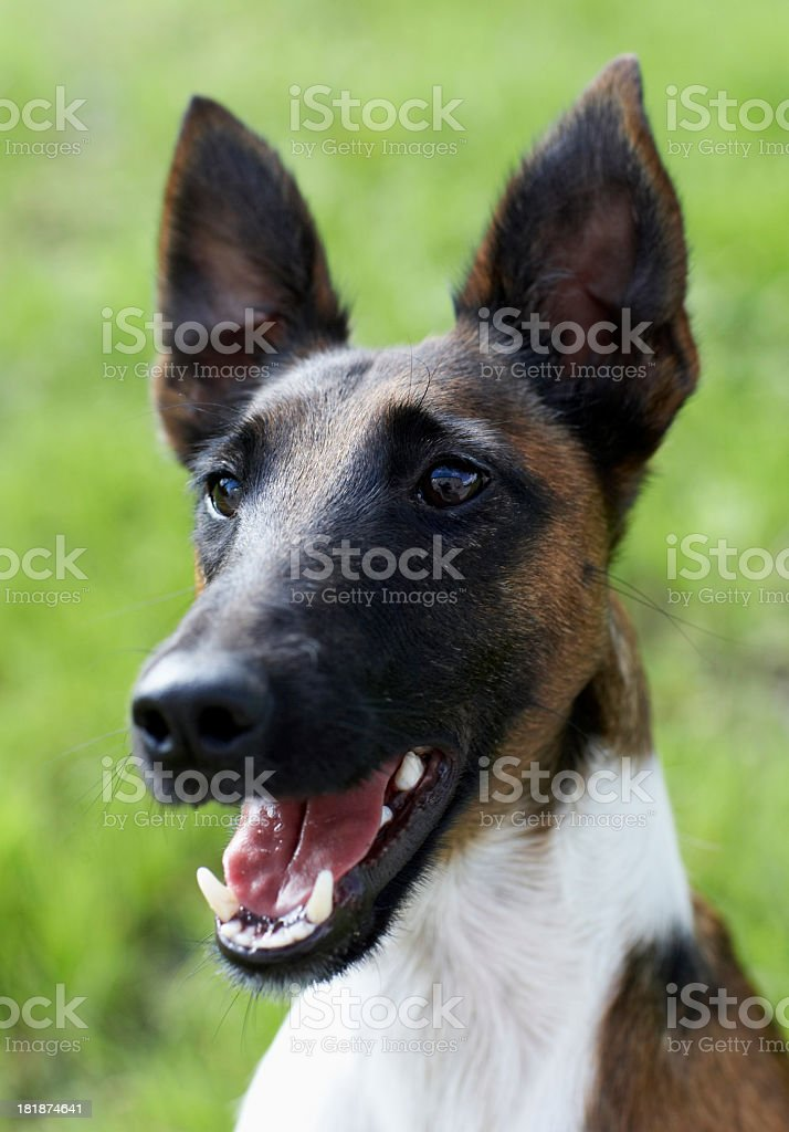 Fox Terrier head royalty-free stock photo