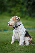 Fox terrier on a green grass background