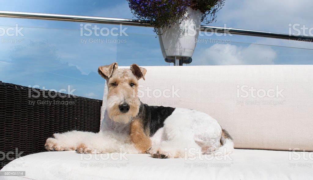 Fox Terrier stock photo