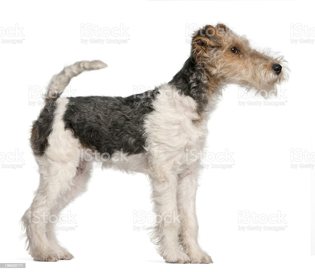 Fox Terrier puppy, 4 months old royalty-free stock photo