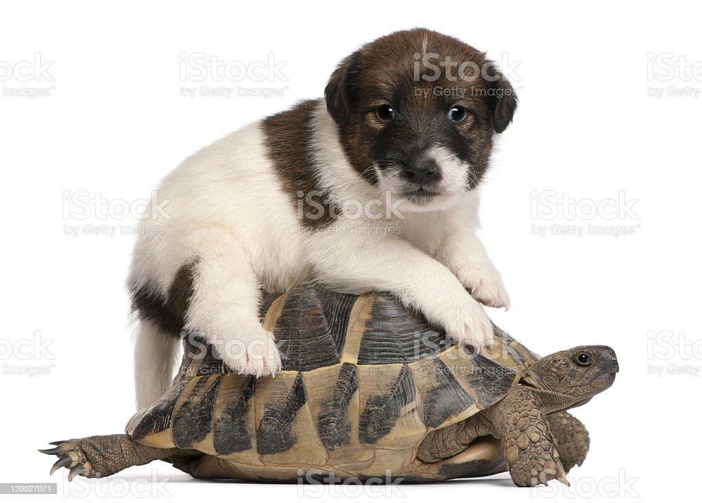 Fox terrier puppy, and Hermann's tortoise, Testudo hermanni, white background. royalty-free stock photo