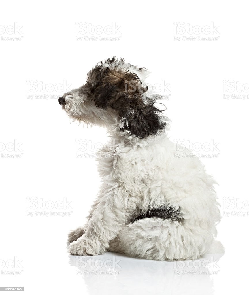 Fox Terrier puppy side view royalty-free stock photo