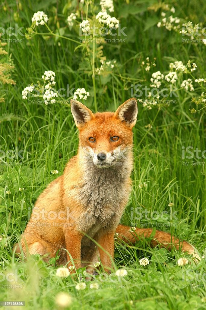 Fox with umbels stock photo