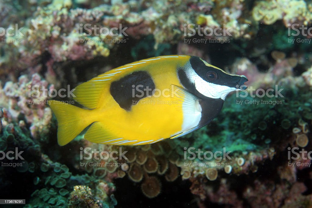 Foxed Faced Rabbitfish on the Reef royalty-free stock photo