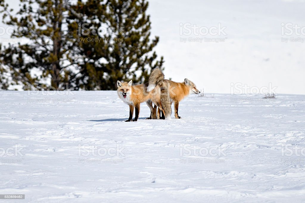 Foxes being out-foxed stock photo