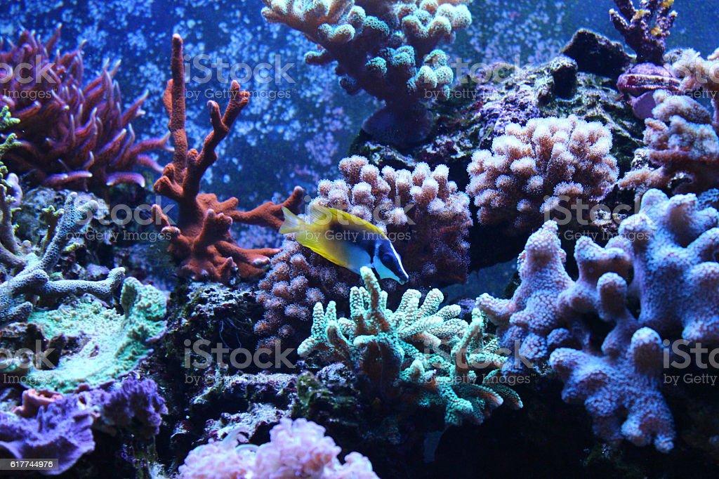 Foxface Rabbitfsih swim around corals stock photo