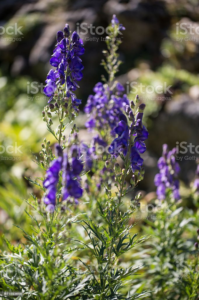 Foxglove, Digitalis, purple, garden stock photo
