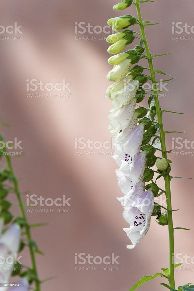 Foxglove [genus Digitalis] stock photo