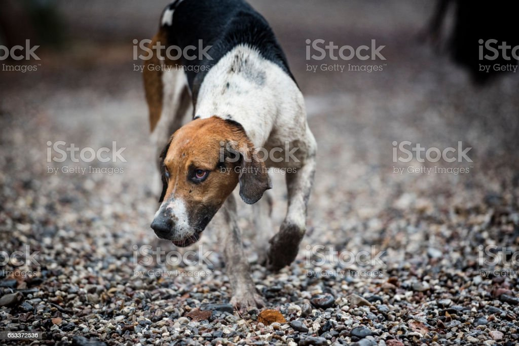 Foxhound On The Prowl. stock photo