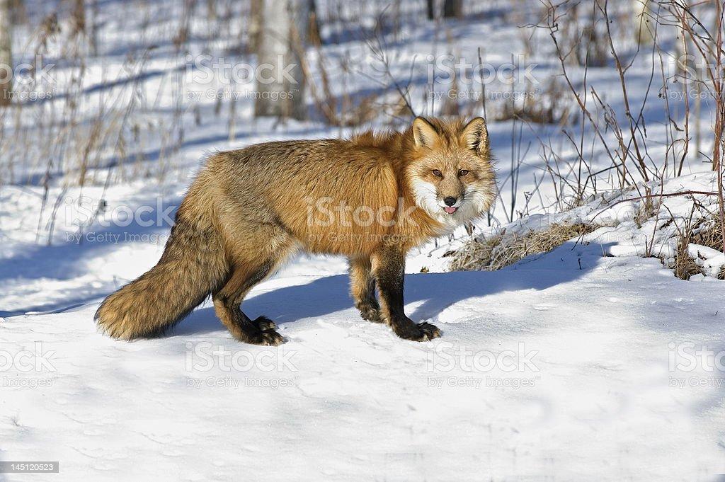 Fox-red in winter coat stock photo