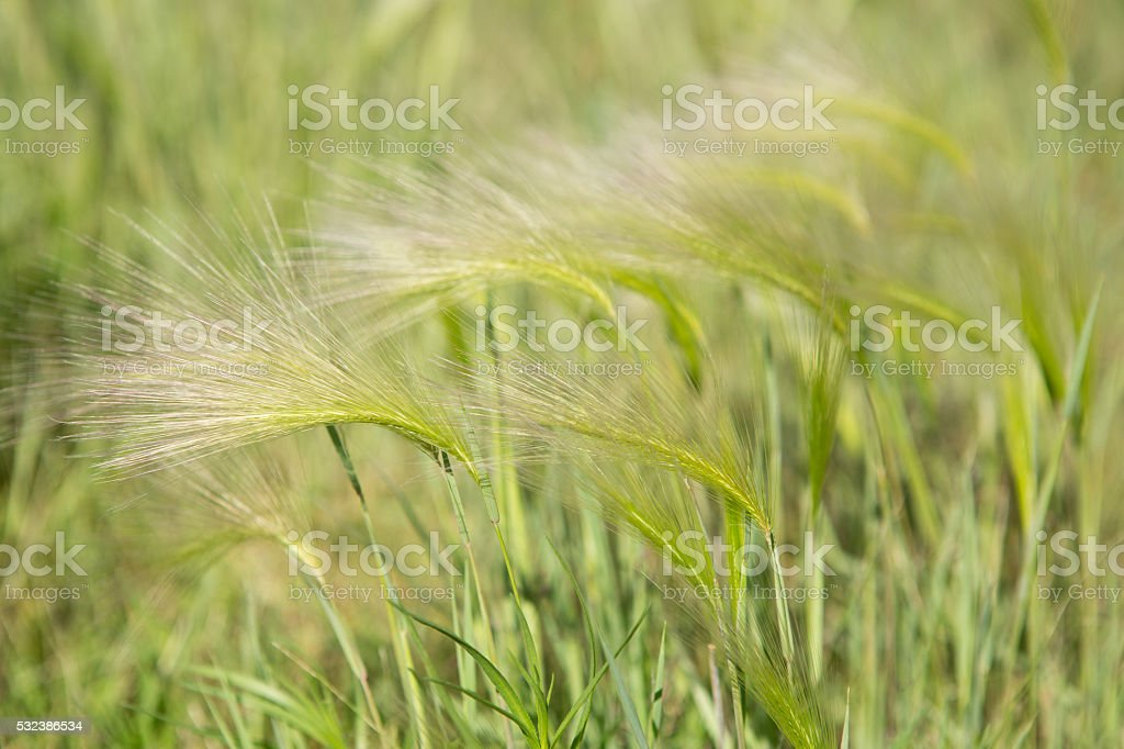 Foxtail barley and green grass stock photo