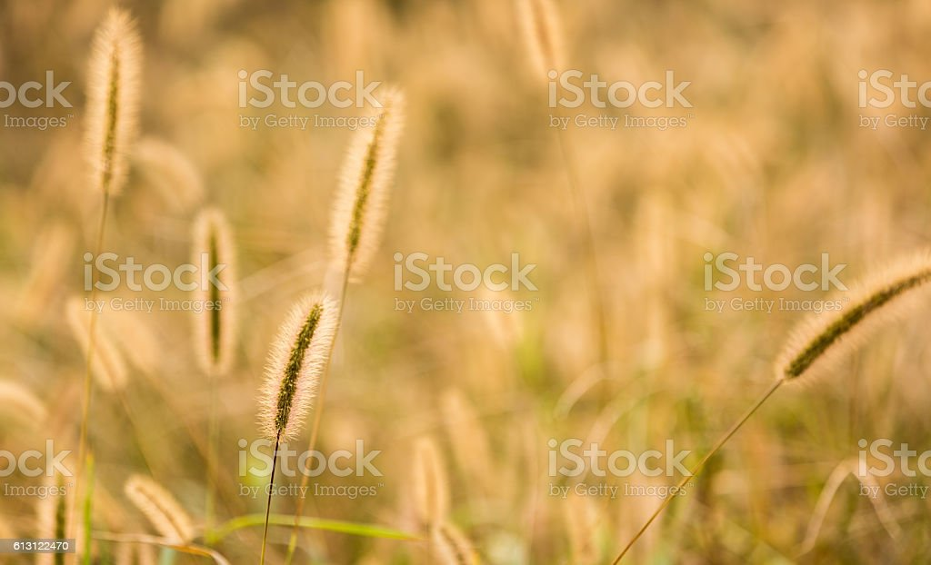 foxtail barley stock photo