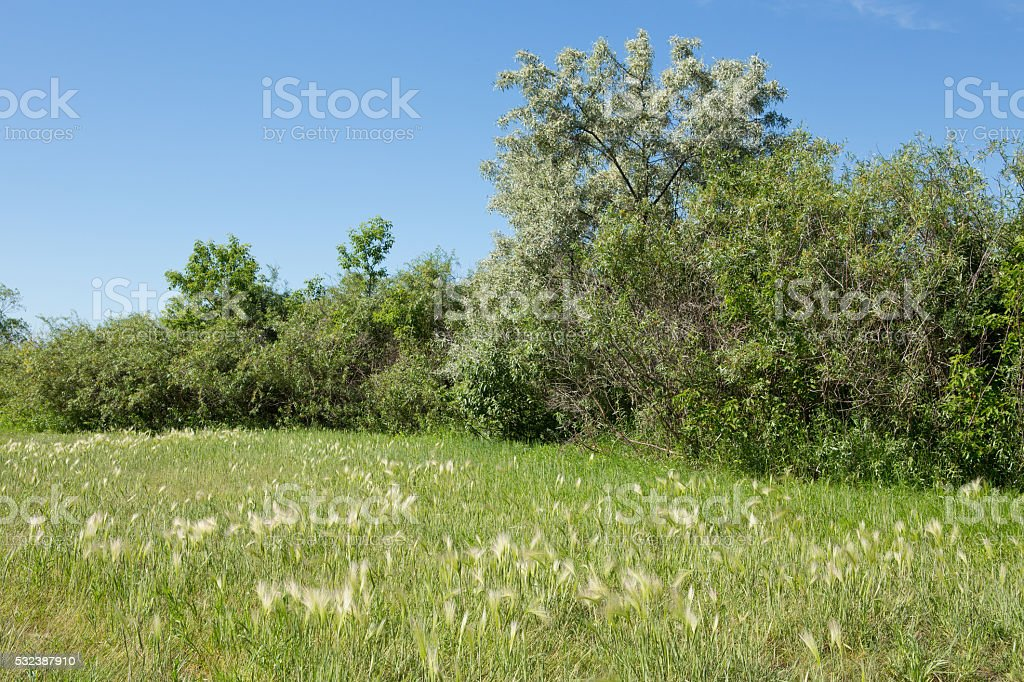 Foxtail barley with green grass and trees and blue sky stock photo