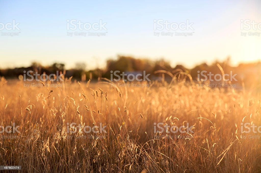Foxtail grass field in the morning sun stock photo